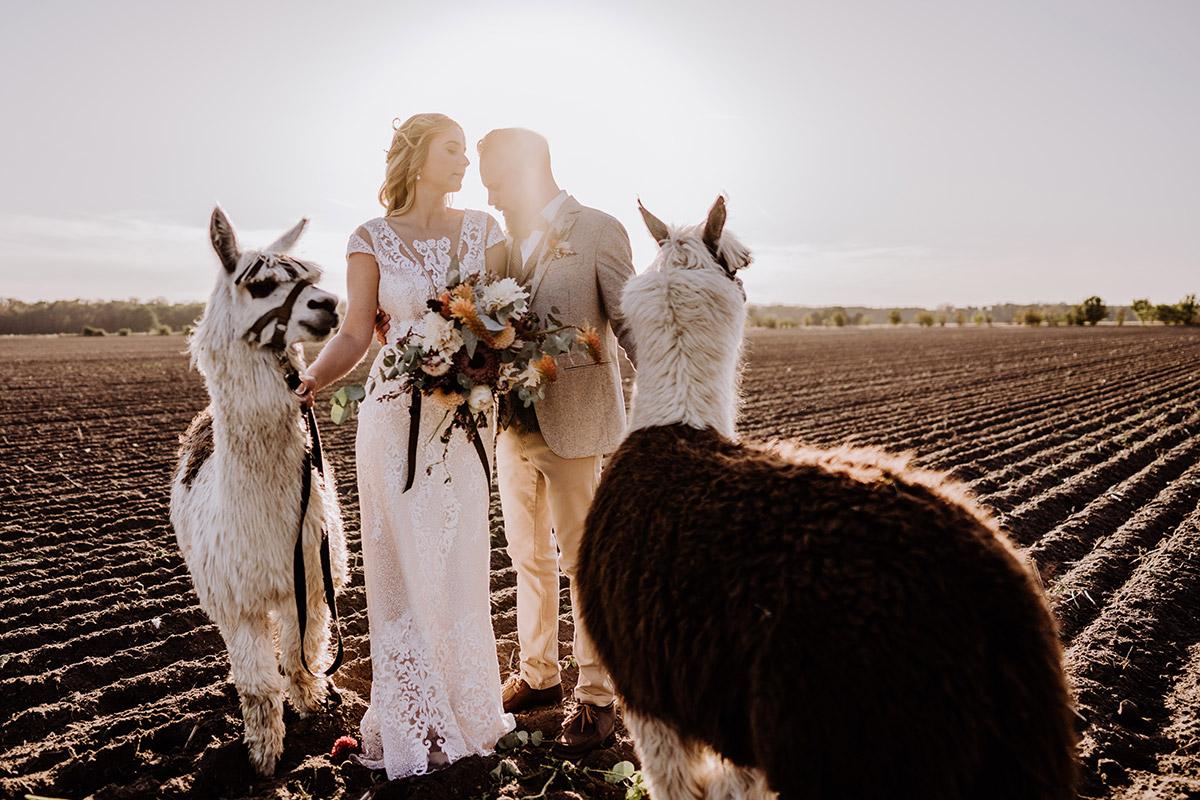 Inspiration Hochzeitsfoto Brautpaar mit Alpaka - Hochzeitsfotografin aus Berlin fotografiert After Wedding Shooting mit Alpakas in Brandenburg © Hochzeitsfotograf Berlin www.hochzeitslicht.de